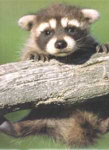 raccoon cute